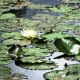 The water lilies (or nympheas) bloom all summer long.