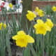 Daffodils are common at this time of year.