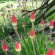 Torch lily or red hot poker flowers by a monkey puzzle tree