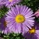 A close up view of an aster flower