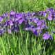 More irises