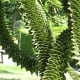 The unusual leaves of a monkey puzzle tree in the garden