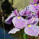 A beautiful iris