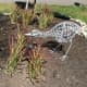 The baby sandhll crane