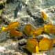 Yellow Tangs are abundant in Hawaii's coral reef.