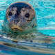 Harbor Seal Pup born at the Milwaukee County Zoo in Milwaukee, Wisconsin