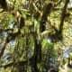 Hoh Rain Forest in Olympic National Park near Seattle, Washington