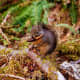Squirrel at the Hoh Rain Forest in Olympic National Park near Seattle, Washington