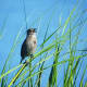 Seaside Sparrow at Pea Island National Wildlife Refuge on the Outer Banks in North Carolina