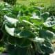 Food grown in Mandell Park