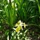 Louisiana Iris grown in Mandell Park