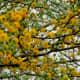 Huisache trees in bloom