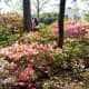 Pretty Azaleas in Bloom