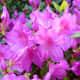 Photo of azaleas