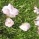 Pink Evening Primrose.