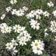 Black foot daisy
