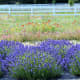 Washington Lavender Farm near Sequim Washington
