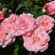 International Rose Test Garden at Washington Park in Portland