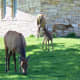 Elk near Mammoth Hot Springs in Yellowstone National Park