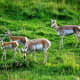 Pronghorn family in Lamar Valley in Yellowstone National Park