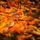 Fish Feeding: Feed some school of koi