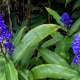 There are some non-native species planted in the arboretum like this beautiful blue ginger (Dichorisandra thyrsiflora)