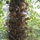 Cannonball Tree - Waimea Valley, Oahu