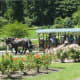 A horse drawn carriage in the rose garden