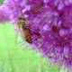 A bee on an allium rosenbachianum (an ornamental onion).