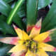 Another bromeliad