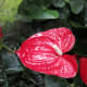 Anthurium, the flamingo lily, or the flamingo flower