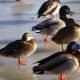 Ducks at Bay Beach Wildlife Sanctuary  at Green Bay, Wisconsin
