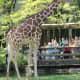 Giraffe at Brookfield Zoo in Chicago, Illinois