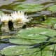 Water Lilies in Marshall Lake