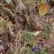 A few hardy bluebonnets mixed in with the cactus at Enchanted Rock State Park