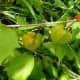 Rasbhari plant with ripening fruits
