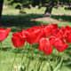 Red tulips at park Oak Harbor