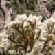 Trailside cholla cactus in the sun.