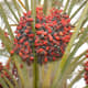 Another cultivar of date palm