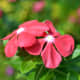 sadabahar-periwinkle-plant-or-vinca-rosea-health-benefits-and-uses