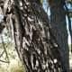 Bark Of The Ber Tree