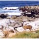 3 deer in this photo - 17 Mile Drive scenery along the Pacific in California