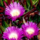 Ice plants in bloom