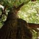 my-friend-the-oak