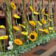 Stunning display of Sunflowers