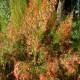 Firecracker plant in bloom