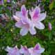 Cenacle grounds – azaleas in bloom