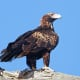 Wedge-Tailed Eagle of the Nullarbor - Emblem of the Indian Pacific