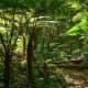 Tree Ferns, Australian Rainforest