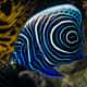 Juvenile Emperor Angelfish